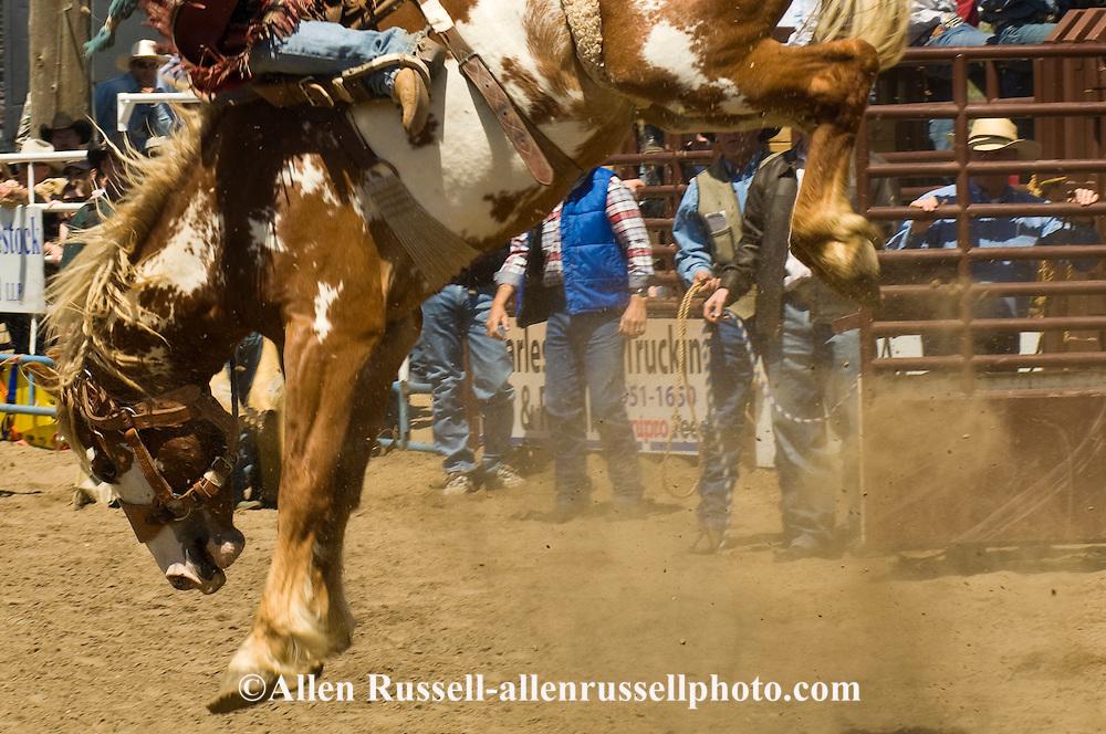 Rodeo, Bareback Bronc rider, Miles City Bucking Horse Sale, Montana.