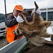 TOMIOKA TOWN, JAPAN - MARCH 30 : Hunters collect the body of raccoon after being trapped at a residential area near Tokyo Electric Power Co's (TEPCO) tsunami-crippled Fukushima Daiichi nuclear power plant in Tomioka town, Fukushima prefecture, Japan, March 30, 2017. (Photo by Richard Atrero de Guzman/NUR Photo)