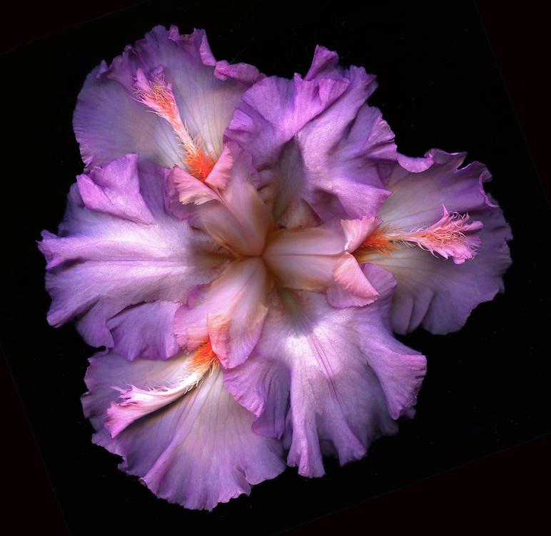 """Tall Bearded Iris """"Hyperspace"""" / #VAR310"""