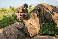 Dehorning Black Rhino for conservation, Phinda Private Game Reserve, Zululand, KwaZulu Natal, South Africa