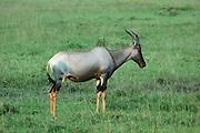 Kenya, Masai Mara, Topi (Damaliscus lunatus) Side view