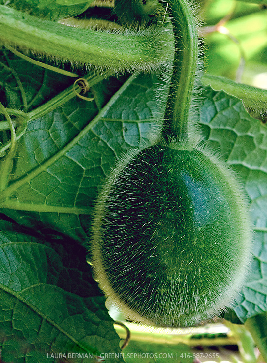 Asian fuzzy melon on the vine.