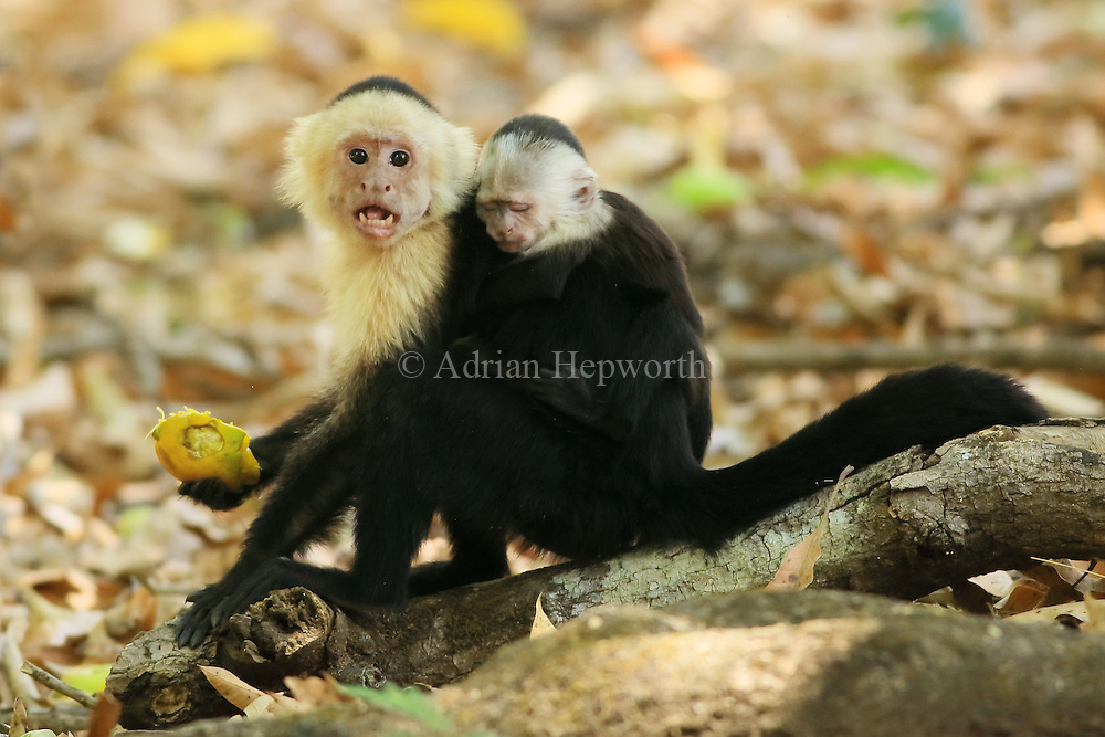Female white-faced capuchin monkey (cebus capucinus) feeding on fruit and carrying baby on back. Palo Verde National Park, Guanacaste, Costa Rica.