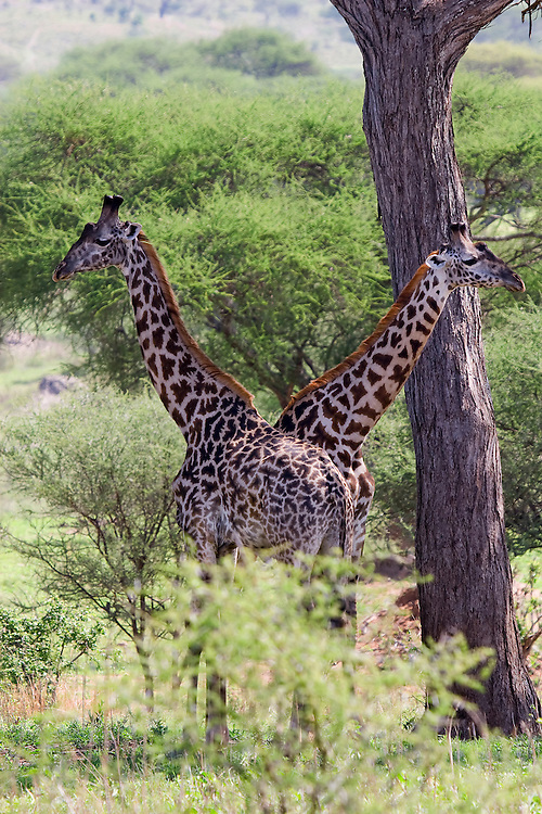 (Giraffa camelopardalis) Two Adult Masai Giraffes Watch Out for Predators