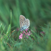 Large Blue butterfly (Maculinea arion) site X UK
