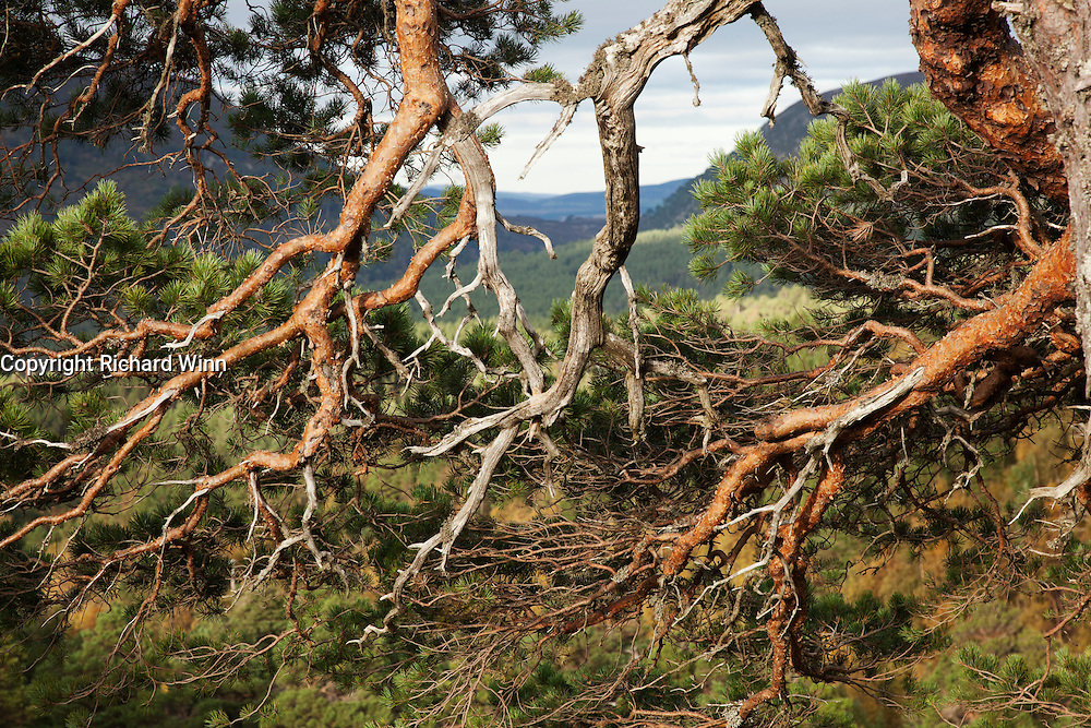 Abstract view of the branches of a Caledonian or Scots pine, showing glimpses of the Cairngorm mountain range between the branches.