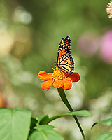 Monarch butterfly feeding on a Mexican Sunflower. Image taken with a Nikon D5 camera and 80-400 mm VRII lens.