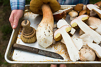 Wild Bolete mushrooms found in the forest along the Oregon Coast.