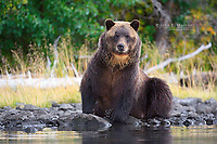 Large grizzly bear in the Chilcotin Mountains, British Columbia, Canada