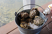 Oyster, Taylor Shellfish Samish Farm Store, San Juan Islands, Puget Sound, Washington State