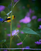 American Goldfinch Hunting Cornflowers. Image taken with a Nikon Df camera and 300 mm f/4 lens