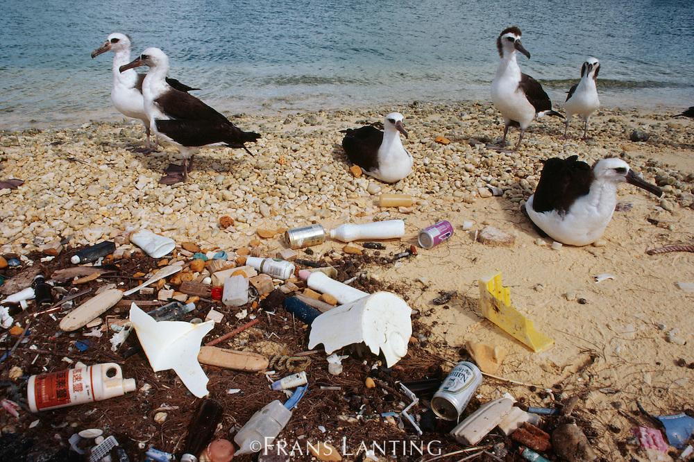 Laysan albatrosses on litter-strewn beach, Phoebastria immutabilis, Hawaiian Leeward Islands