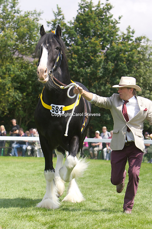 Mr Wm Bedford's black stallion  Martonian Norman<br /> 4 years old<br /> Sire  Moorfield Edward<br /> 2nd  2 year old or over Colt or Stallion Class