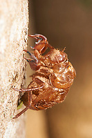 Cicada molted skin on tree, Bairro da Ponte Nova, Mangueiras Ranch,  Sao Paulo, Brazil (Photo: Peter Llewellyn)