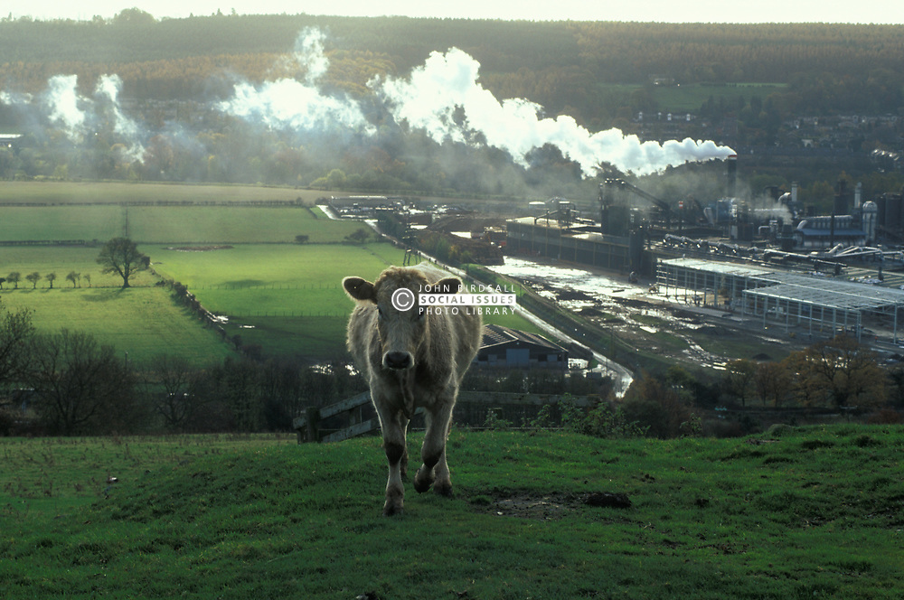 Cow in field on hill above smoking factory; Hexham; Northumberland; NE England UK