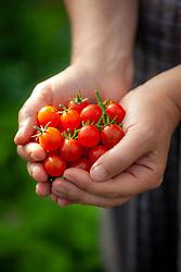 Hands holding Tomato 'Micro Cherry'. Solanum lycopersicum 'Micro Cherry'