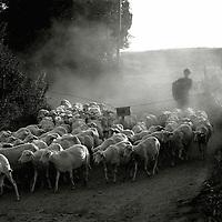A farmer herding sheep along a lane