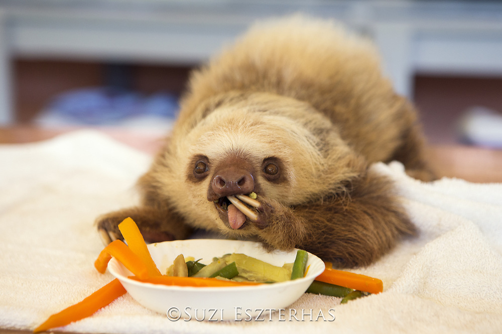 Hoffmann's Two-toed Sloth <br /> Choloepus hoffmanni<br /> Orphaned baby sloth eating vegetables<br /> Aviarios Sloth Sanctuary, Costa Rica<br /> *Rescued and in rehabilitation program