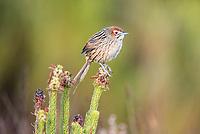 Cape Grassbird, Agulhas National Park, Western Cape, South Africa