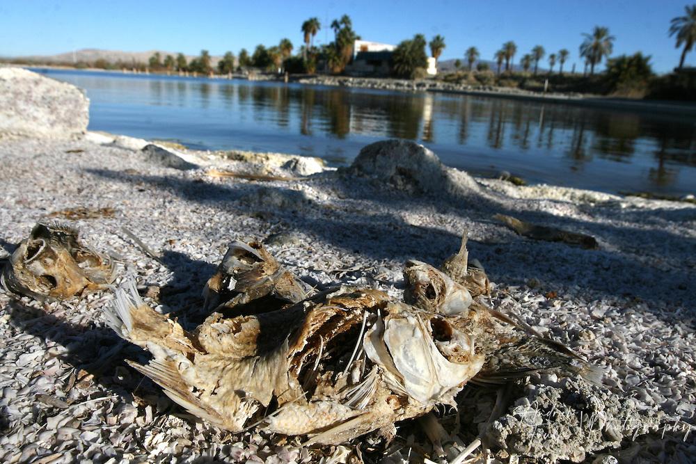 A dead Talapia lays on a beach near the north shore of the Salton Sea.