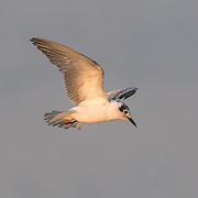 The common tern (Sterna hirundo) is a seabird of the tern family Sternidae.