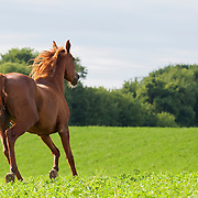 Chestnut Arabian horse running in green pasture bordered by trees