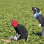 Field workers picking up strawberries. Camarillo, CA.