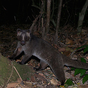 The masked palm civet or gem-faced civet (Paguma larvata) in Kaeng Krachan National Park, Thailand.