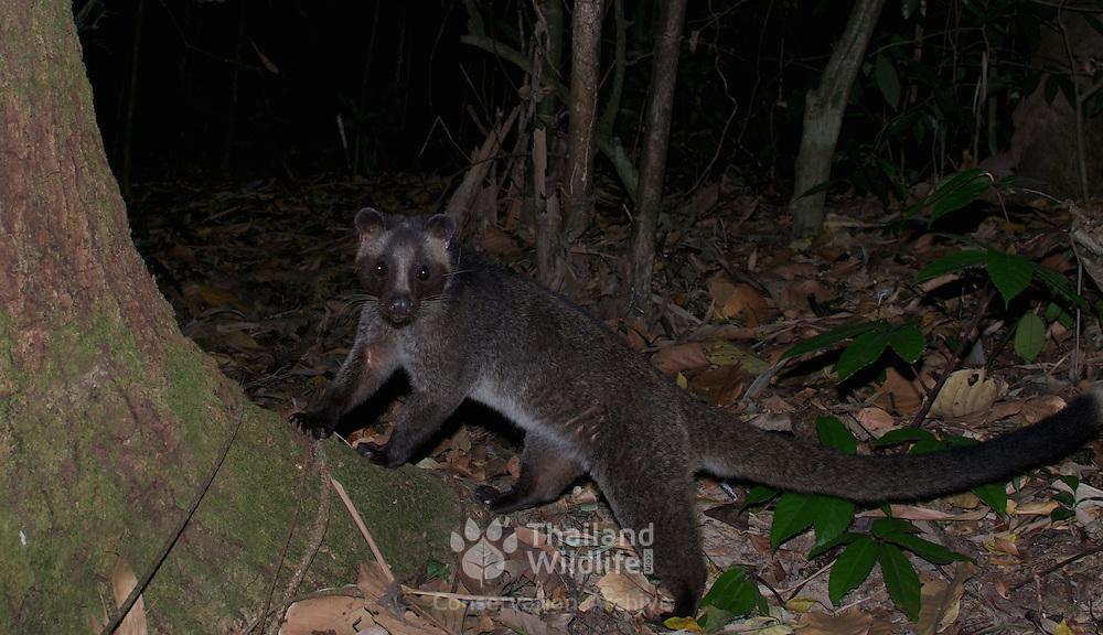 The masked palm civet or gem-faced civet (Paguma larvata) in Kaeng Krachan National Park, Thailand.