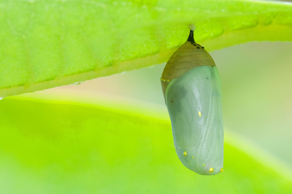 Monarch Butterfly, Danaus plexippus, chrysalis on Common Milkweed, Asclepias syriaca, Lapeer Co., Michigan