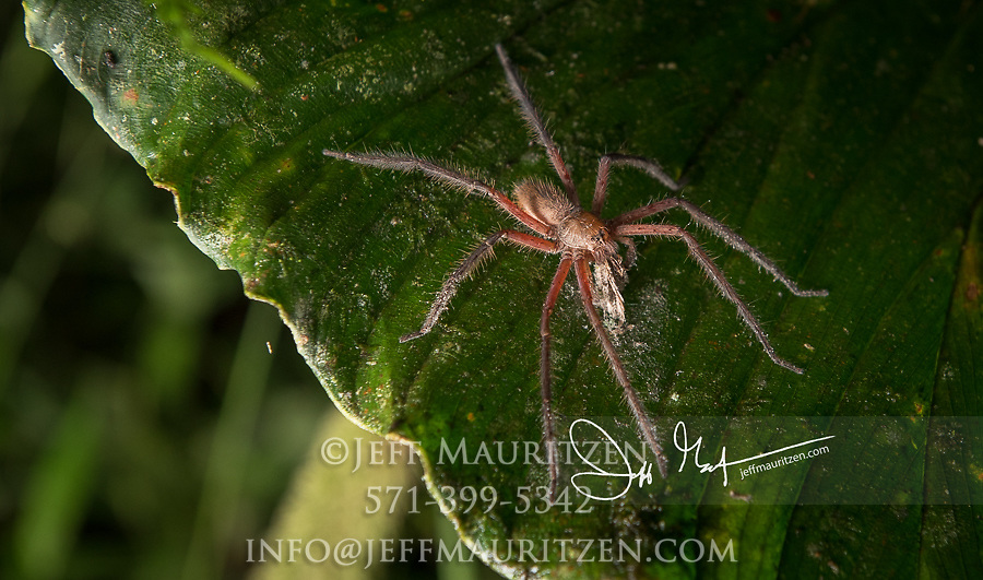 A Wolf spider climbs along a plant in search of food at night.