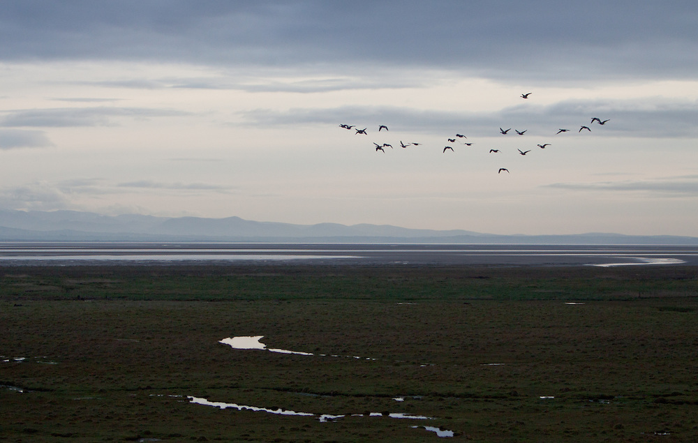 A mass wedge or flock of barnacle geese flying together over the Solway Firth in Cumbria.