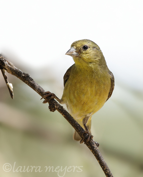 Lesser Goldfinch Female on a branch photographed in Arizona