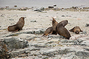 Colony of Antarctic fur seals (Arctocephalus gazella) on a rocky coast. The Antarctic fur seal feeds mainly on krill, but it also eats squid and fish. It is primarily a nocturnal hunter. An adult male can reach a length of up to two metres and a weight of over 200 kilograms. Around 95% of the Antarctic fur seal population breed on South Georgia Antarctica Photographed in February