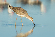 A willet wades through shallow water, Puerto Vallarta, Mexico