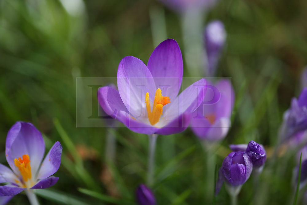 © Licensed to London News Pictures. 18/02/2016. Leeds, UK. Colourful crocuses in bloom at Roundhay Park in Leeds, West Yorkshire. Forecasters are predicting temperatures to drop below zero this week as snow and ice are set to batter Britain. Photo credit : Ian Hinchliffe/LNP