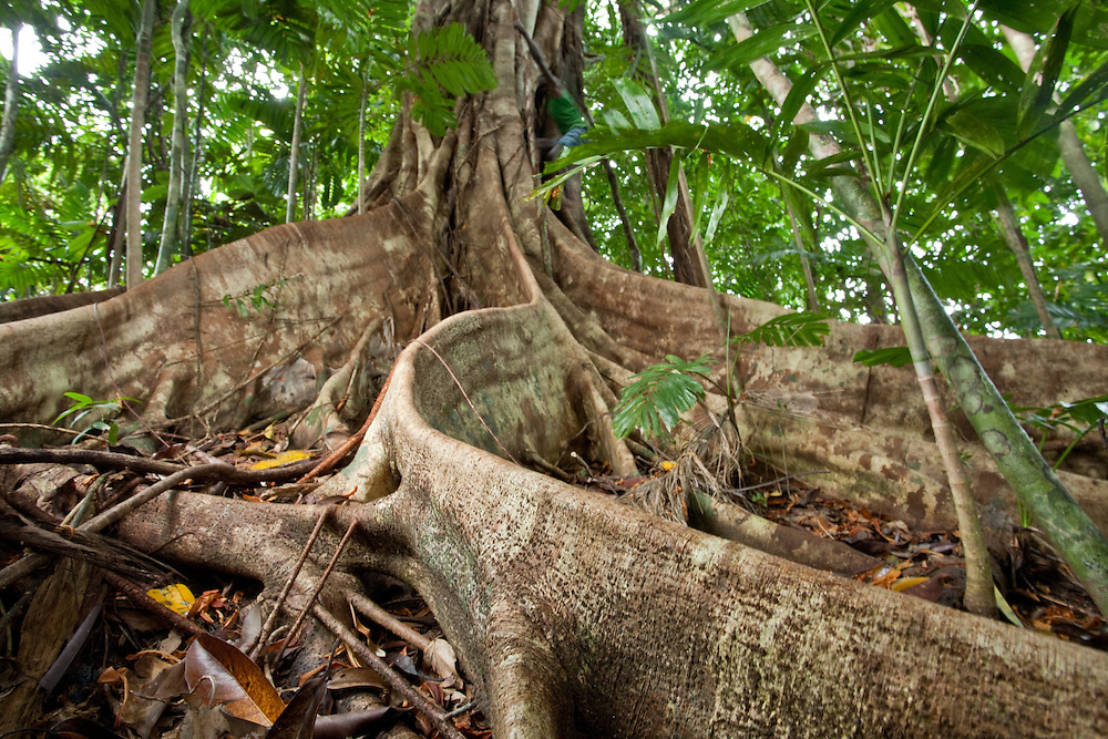 Butress roots on a rainforest tree on Tetapare