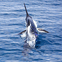 Blue Marlin breaking the surface and swimming away from the boat offshore Luanda, Angola. The lure on which it was hooked is visible behind the fish still underwater. The shutter speed of 1/4000s effectively froze the water pooring off the marlin's fins and body. Sequence 1/2.
