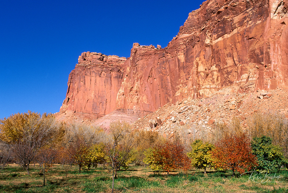 The Johnson Orchard under the colorful sandstone cliffs of the Waterpocket Fold in Fruita, Capitol Reef National Park, Utah