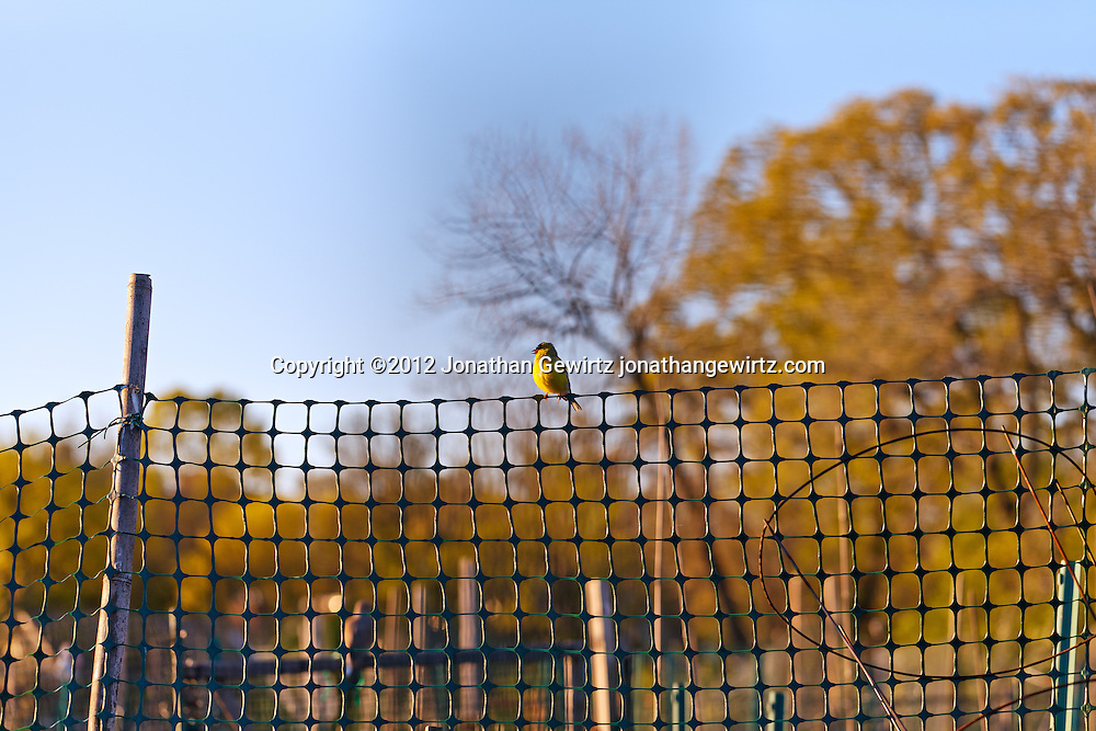 An American Goldfinch (Carduelis tristis) perches on a fence in a community garden. WATERMARKS WILL NOT APPEAR ON PRINTS OR LICENSED IMAGES.