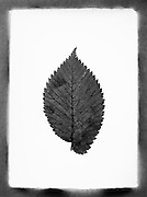 Single leaf against a white background