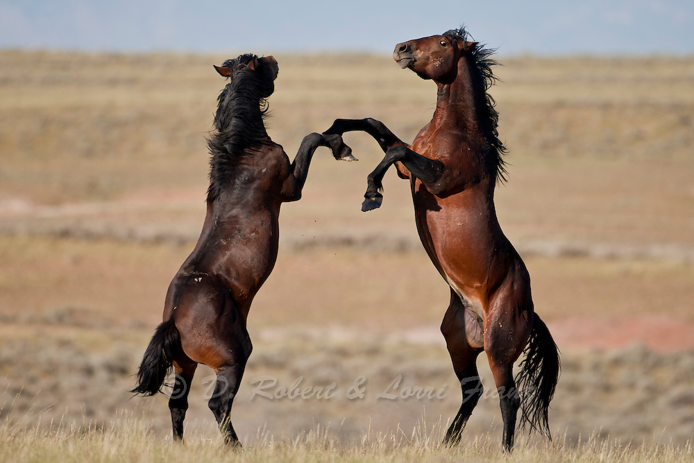 Wild mustang stallions fighting