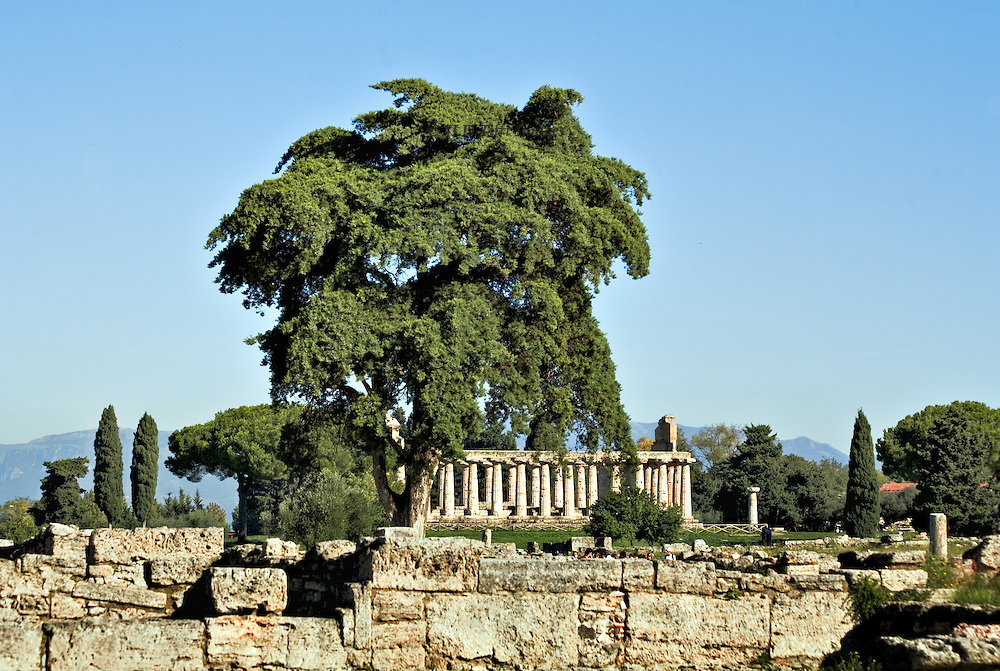 Italy, Magna Graecia : Paestum temple seen from ruins of the city.  An oak (?) tree towers over the ancient structure, still standing.  A different interpretation of nature overcoming the works of man.