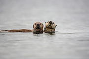 Protective Sea otter mother and curious pup looking