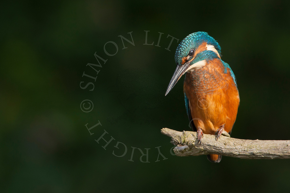 Common Kingfisher (Alcedo atthis) immature female perched on branch, Norfolk, UK.