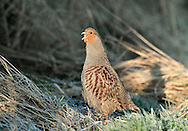 Grey Partridge Perdix perdix L 29-31cm. Well-marked gamebird. Usually seen in small parties. Hunted and consequently wary; prefers to run from danger. Sexes are separable with care. Adult male has mainly grey, finely marked plumage with orange-buff face, large chestnut mark on belly, maroon stripes on flanks and streaked back. Adult female is similar but marking on belly is small. Juvenile is grey-buff with hint of adult's dark markings. Voice Utters a choked, harsh kierr-ikk call. Status Native of grassland and arable farmland with mature hedgerows. Once abundant, now scarce due to modern farming methods. Observation tips Easiest to see in winter.