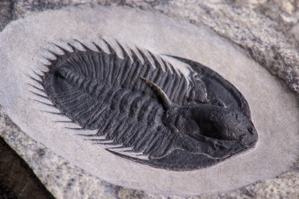 This Olenoides inflatus (sagittal length: 43mm) is a very rare trilobite from the Middle Cambrian Marjum Formation of Utah. It has a wonderful three-dimensional occipital spine.