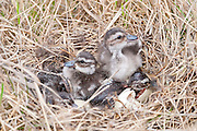 Northern Pintails, Anas acuta, female at nest with ducklings, Yukon Kuskokwim Delta NWR, Alaska