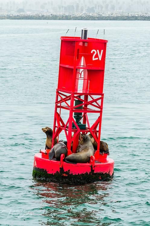 California sea lions on a harbor buoy, Ventura, California USA