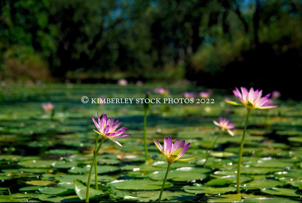 Native waterliliies (Nymphaea sp.) grow in a freshwater pool in the Kimberley, Western Australia.